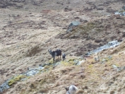 Feral goats and kids