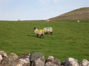 colourful sheep